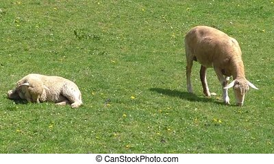 Two sheep grazing in the meadow