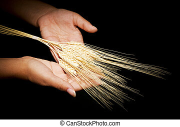 Hands with wheat - Hands with offering wheat