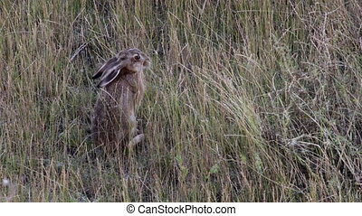 Wild brown hare eating grass in the field