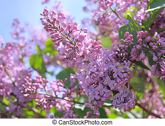 Fragrant lilac bush in the spring garden