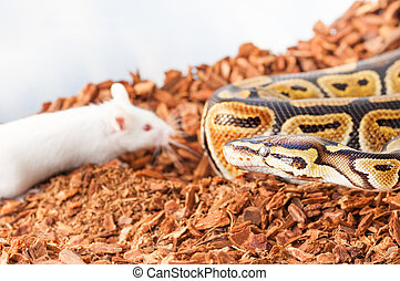 Royal or Ball python hunting for a white mouse
