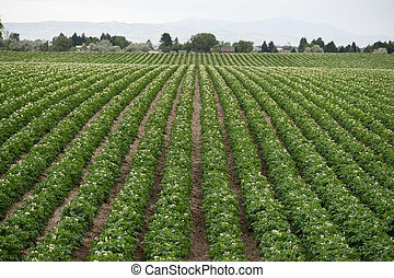 Potato Plants Grow Idaho Farm Agriculture Food Crop - Rows...