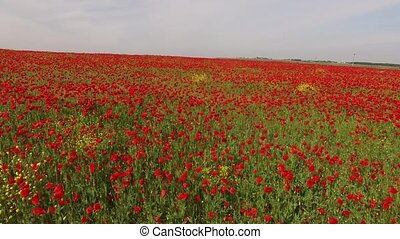 Poppy Field As Symbol Of Remembrance - Camera is moving over...