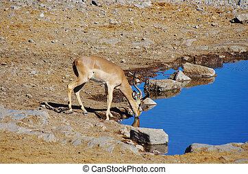 Gazelle drinking