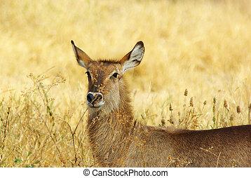Wild animals of Africa gazelle
