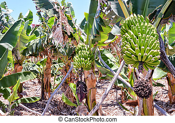 Banana Plantation Field in the Canary Islands