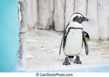 Humboldt penguins at zoo, animal