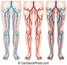 Blood vessels in human legs illustration