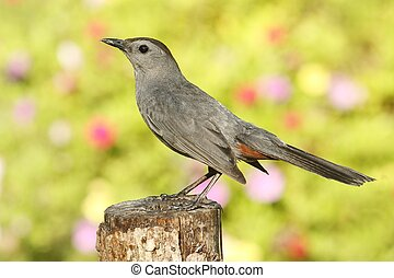 Gray Catbird (Dumetella carolinensis) on a perch with...