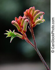 kangaroo paw - australian kangaroo paw flower in the bush