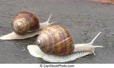 Two snail crawl and play on the wooden table