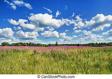 Summer landscape with flowers - Blooming field willow-herb...