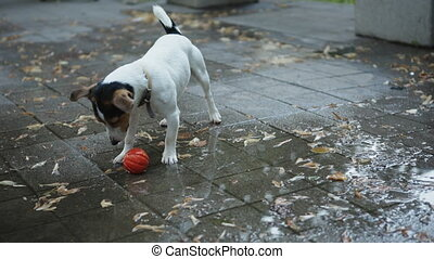 dog drinks water from puddles - small dog breed Jack Russell...