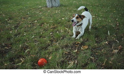the dog barks on the grass - small dog breed Jack Russell...