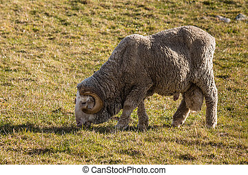 merino ram grazing on meadow - closeup of merino ram grazing...