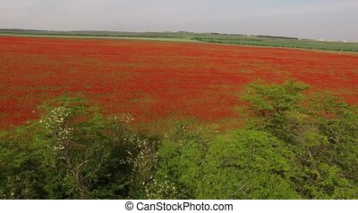 Huge Rural Field Red Of Poppies - AERIAL VIEW. flight over...