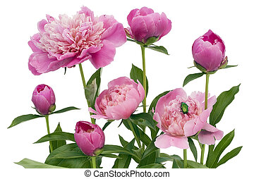 Pink June peonies and a green bug Isolated on white