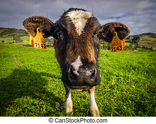 Cow on a pasture - Cow grazing on a pasture in the Sao...