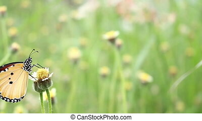 Butterfly on grass flower - dolly shot, Butterfly on grass...