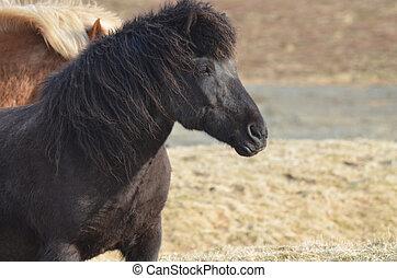 Black Icelandic Horse in a Field