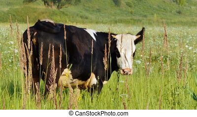 A lowing cow is grazing in a meadow . Video with natural sounds of nature