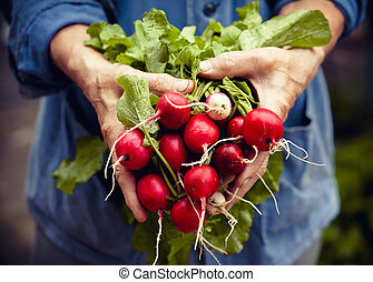 Radish harvest in farmer hands