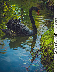 Black swan - Beautiful black swan on the lake shore