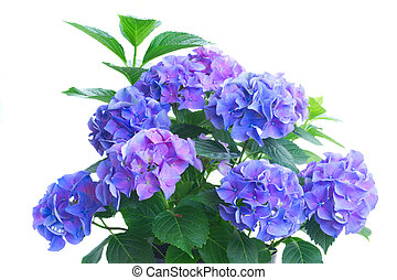 blue and violet hortensia flowers - bush of blue and violet...
