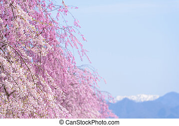 Cherry blossoms at Kitakata, Fukushima