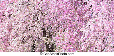 Weeping Cherry blossoms background at Kitakata, Fukushima