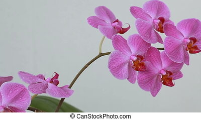 Orchid flowers with water drops aft - Purple orchid flowers...