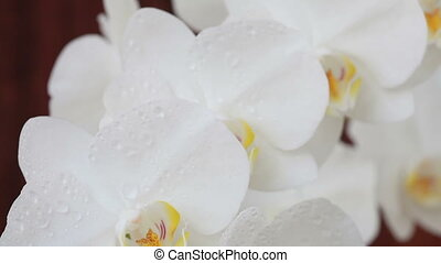 Orchid flowers with water drops aft - White orchid flowers...