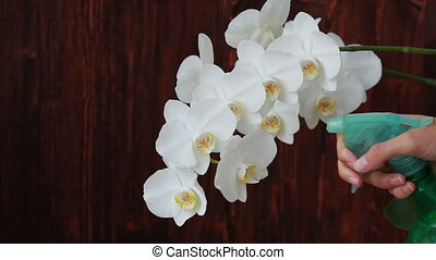 Woman hands with sprayer spraying on white orchid flowers