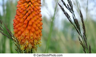 Orange flower of aloe. Camera movement from the bottom up.