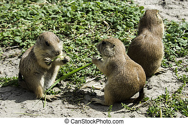 three prairie dog eating grass - group of three prairiedog...