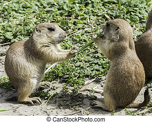 two prairie dog eating grass - two prairiedog or cynomys...