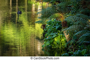 Black swan - Beautiful black swan on the lake, Furnas,...
