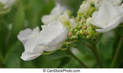 Flowers white hydrangeas in the garden.