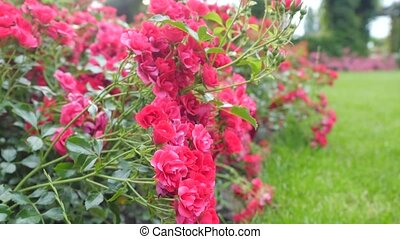 Small Bushes With Red Roses. Camera Movement Along the Bush.