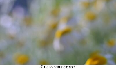 Field field of daisies. Camera movement with a single flower...