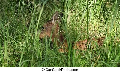 Wild Roe deer in tall green grass - Wild Roe deer lying in...