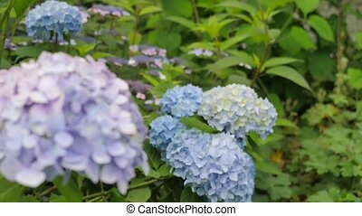 Purple Hydrangea in the Foreground and Blue in the Background. the Video is Used Change of Focal Distances From the Foreground to the Background