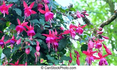 Pink flowers fuchsia. Seclusion Zoom a closeup on the...
