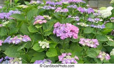 Bush Hydrangea Flowers With Different Colors - Bush...