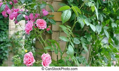 Pink roses on a background of a brick wall. Zoom camera.