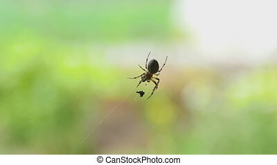Spider on the web, eats prey - Spider on the web eats prey,...