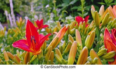 Orange lily flowers in the garden
