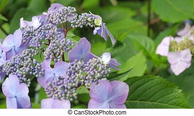 Purple hydrangea flowers in the garden.