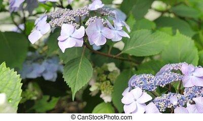 Bush Hydrangea Flowers With Different Colors. - Bush...