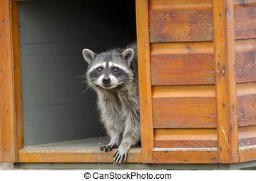 Raccoon in feeding box. - A raccoon, Procyon Lotor, looks...